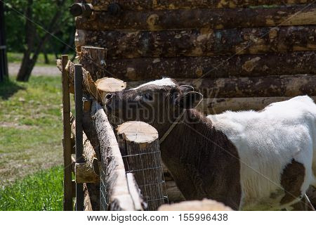Calf in a wooden corral. Young bull with brown and white spots.