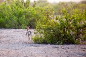 Small gazelle on Sir Bani Yas island UAE poster