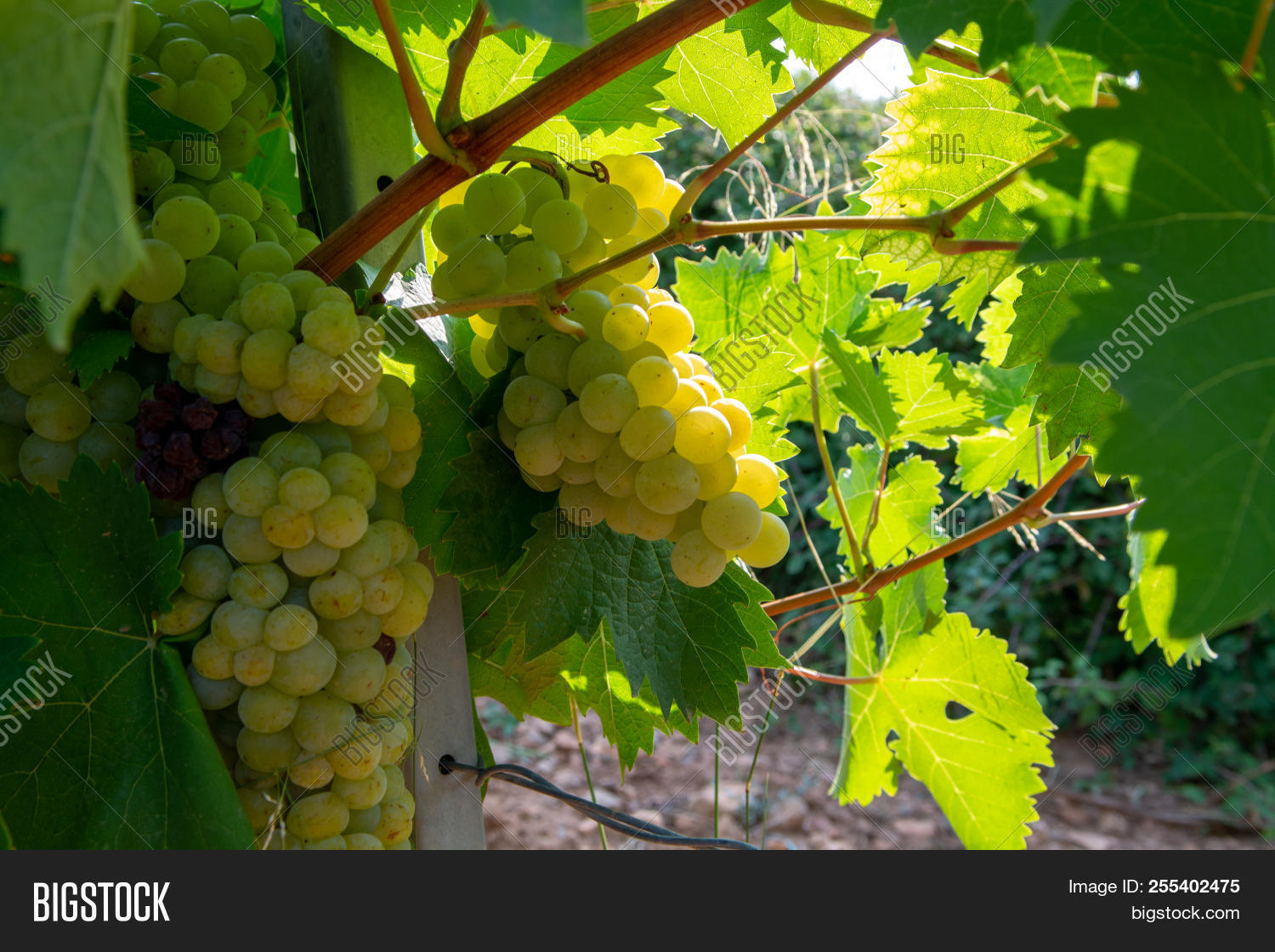 Ripe White Wine Grapes Image & Photo (Free Trial) | Bigstock