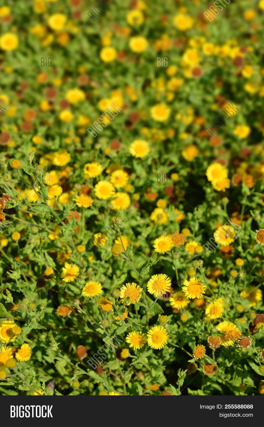 Small Fleabane Yellow Image Photo Free Trial Bigstock