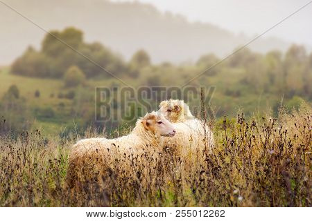 Portrait Of Ram And Sheep. Walking Away In To The Fog. Leadership In Relationship Concept.