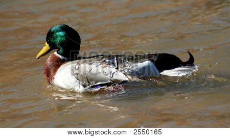 Mallard With Water On Back
