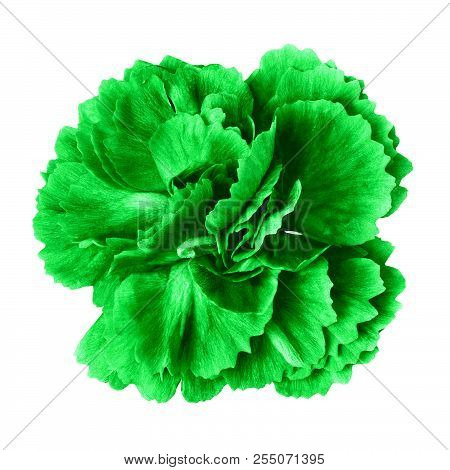 Green Carnation Flower Isolated On White Background. Close-up.  Element Of Design. Nature.