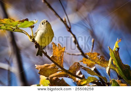 Singing Ruby-Crowned Kinglet Perched in a Tree poster
