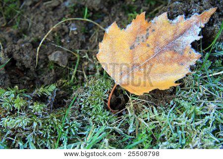 Yellow frosty leaf