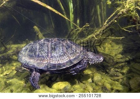 Beautifull Underwater Picture Of Swimming European Pond Turtle (emys Orbicularis) Or European Pond T