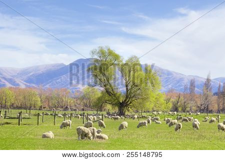 New Zealand Sheep Grazing On Lush Spring Pasture In Canterbury, New Zealand.