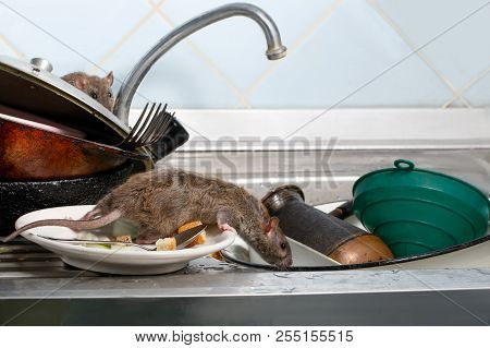 Two young rats (Rattus norvegicus)  on the sink with dirty crockery at the kitchen. Fight with rodents in the apartment. Extermination. poster