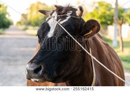 Cow Tied With Horn Thread, Close-up, Ukraine