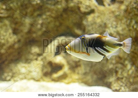 A Beautiful Colored Picasso Triggerfish Under The Water