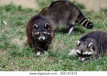 Family Of Lotor Common Raccoons (procyon Lotor). Photography Of Nature And Wildlife.