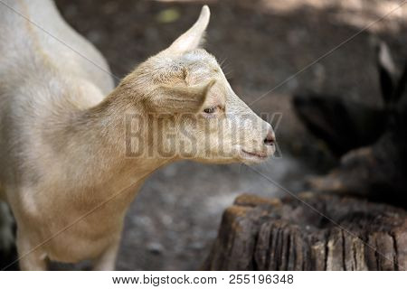 Portrait Of Beige Goat Kid On The Farm. Photography Of Nature And Wildlife.