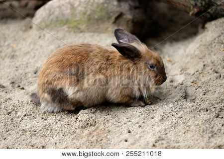 Full Body Of Brown-grey Domestic Pygmy Rabbit (bunny). Photography Of Nature And Wildlife.