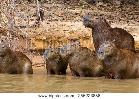 Herd of Capybara on riverbank from Pantanal, Brazil. Brazilian wildlife. Hydrochoerus hydrochaeris poster