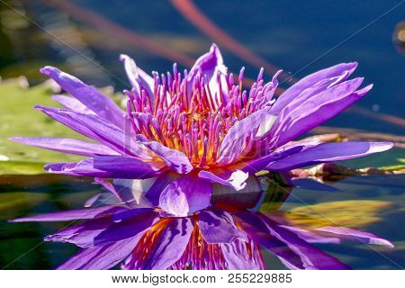 Closeup, Lavender, Pink, Egyptian Lotus Flower And Reflection In Pond