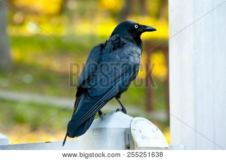 Australian Raven - Perth - Western Australia