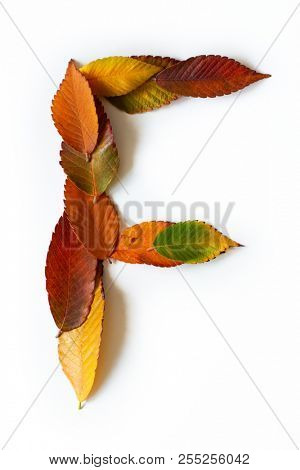 Letter F of colorful autumn leaves. Character F mades of fall foliage. Autumnal design font concept. Seasonal decorative beautiful type mades from multi-colored leaves. Natural autumnal alphabet.