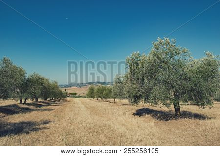 Olive trees. Olive trees garden. Mediterranean olive field ready for harvest. Italian olive's grove with ripe fresh olives. Fresh olives. Olive farm. Image toned.