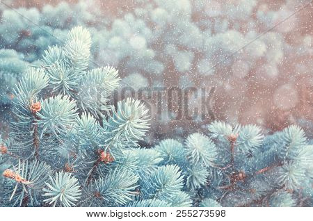Winter background. Blue pine tree branches under winter snowfall, closeup of winter nature, free space for text, vintage tones. Winter nature background, closeup of winter tree branches