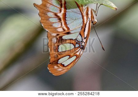 Tan, Lime Green, Malachite Butterfly Hanging Upside Down From A Green Leaf, Closeup, Macro, Isolated