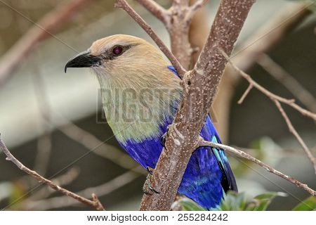 Blue And Tan Bird Sitting On Branch, Closeup