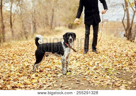 Man Walks In The Fall With A Dog Spaniel With Long Ears In The Autumn Park. Dog Frolics And Plays On