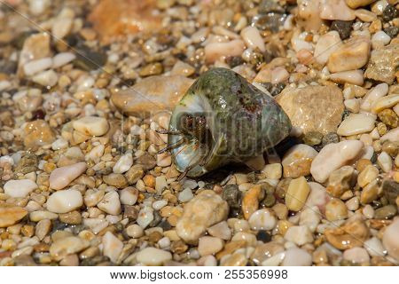Small Sea Crab In Shell On Stones, Croatia
