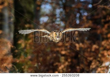 Eurasian Eagle-owl (bubo Bubo) Is A Species Of Eagle-owl. It Is Also Called The European Eagle-owl A
