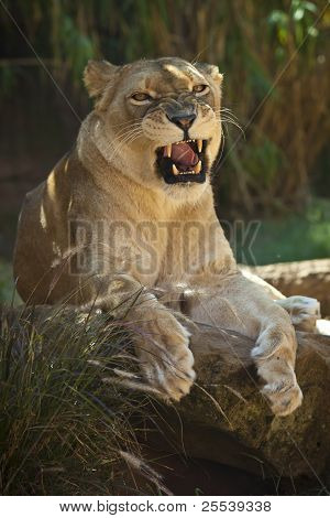 A fearsome portrait of a proud lioness poster