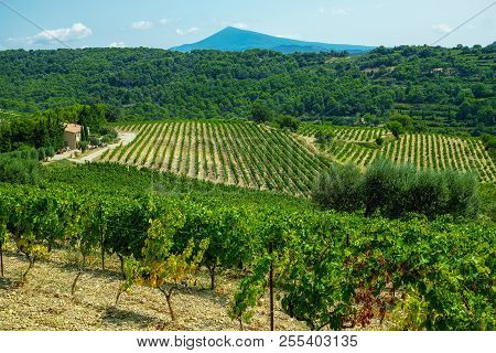 French Red Aop Wine Grapes Plant, New Harvest Of Wine Grape In France, Vaucluse, Gigondas Domain Or
