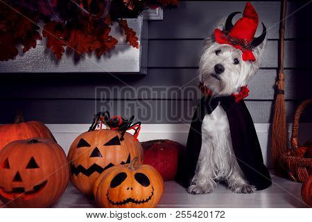 Funny West Highland White Terrier Dog In Scary Halloween Costume And Red Hat With Devil Horns Sittin