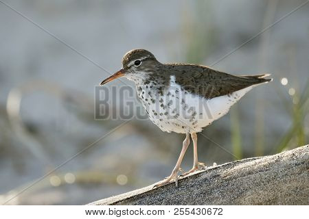 Spotted Sandpiper (actitis Macularius) Walking Along A Piece Of Driftwood On A Lake Huron Beach - On