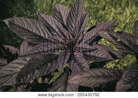 Amaranth Plant. Leaves Of The Plant Amaranth. Purple Leaves. Garden Plant.