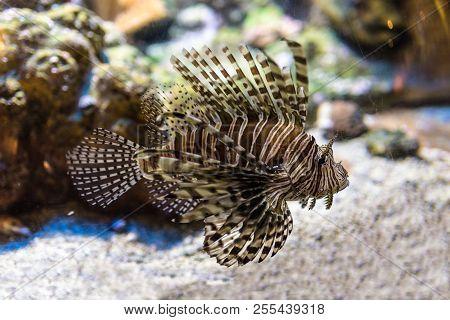 A Venomous Lionfish Swimming In Fish Tank. It Is A Popular Marine Aquarium Fish. The Red Lionfish, (