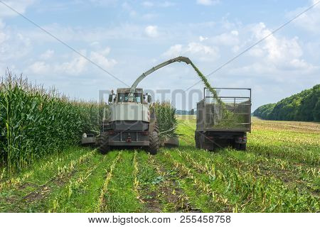 Harvest Of Juicy Corn Silage By A Combine Harvester And Transportation By Trucks, For Laying On Anim