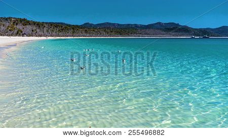 Seagulls Swimming In The Blue Water Of Whitehaven White Silica Sand Beach In Whitsunday Islands Aust