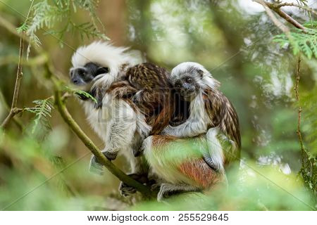 Cotton top Tamarin family. Female with baby on a tree branch poster