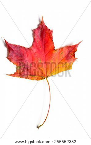 autumn fallen maple leave isolated on white background, cut out with clipping path