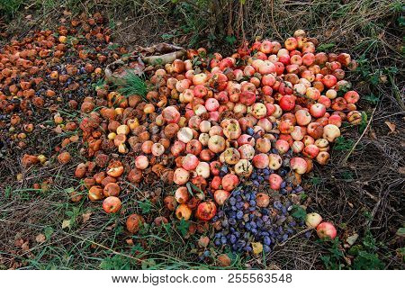 Waste From Autumn Harvest - Putrid Fruits