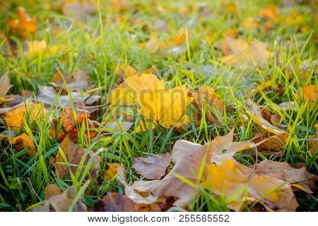 Fall Leaves On Meadow In Autumn.yellow Maple Leaf In An Autumn Forest Against A Setting Sun. Beautif