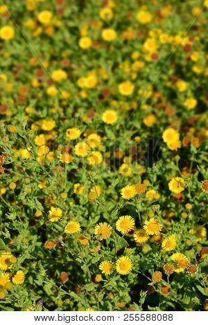 Small fleabane yellow image photo free trial bigstock small fleabane yellow flowers latin name pulicaria vulgaris mightylinksfo