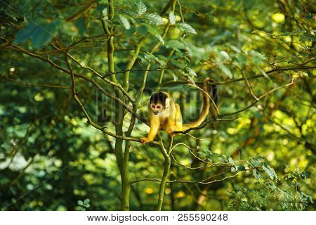 Squirrel Monkey (saimiri Boliviensis) Sitting On The Tree Branch With Green Leaves.