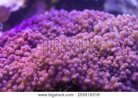 Coral Pocillopora, Sps - Closeup. Saltwater Creature