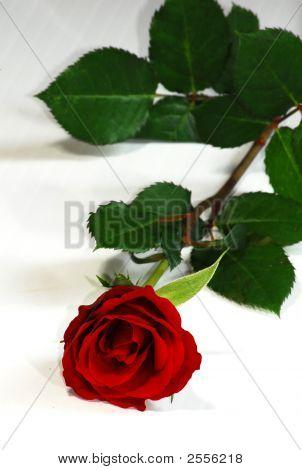 Fallen Red Rose
