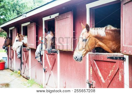 Horses In The Stall Outside. Chestnut Horses In The Stable