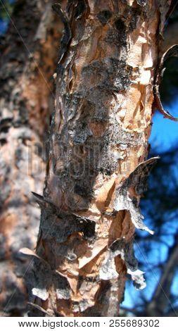 Macro Shot Of Pine Tree Rind Agains Blue Sky