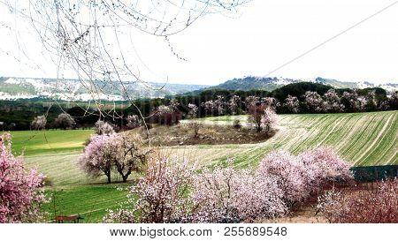 Flowers In Almonds Trees. March. Valladolid, Castilla Y León. Spain