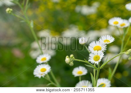 Daisies Blooming On A Green Meadow. Sunny Day