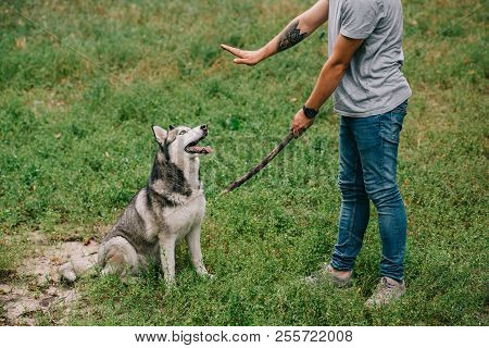cropped view of man training command to sit while playing stick with obedient husky dog poster