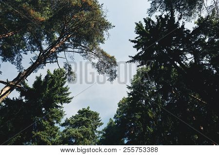 From Below Shot Of Crowns Of Conifer Trees On Background Of Blue Sky On Sunny Day